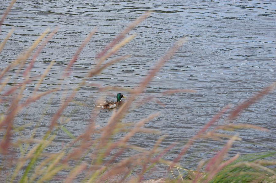 `Die Elbe ist nicht mehr die selbe´ mag sich hingegen diese Ente gedacht haben...